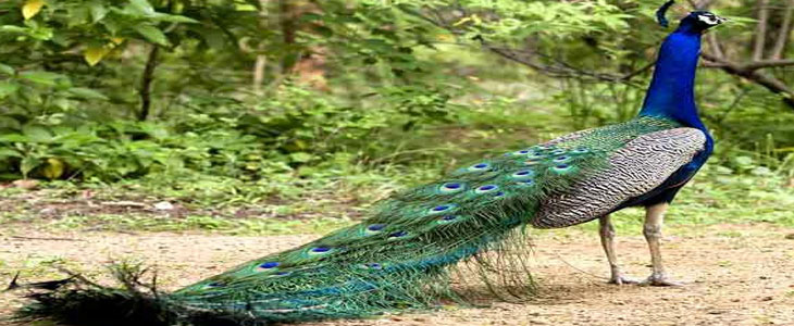 Image result for Viralimalai peacock sanctuary in Trichy images